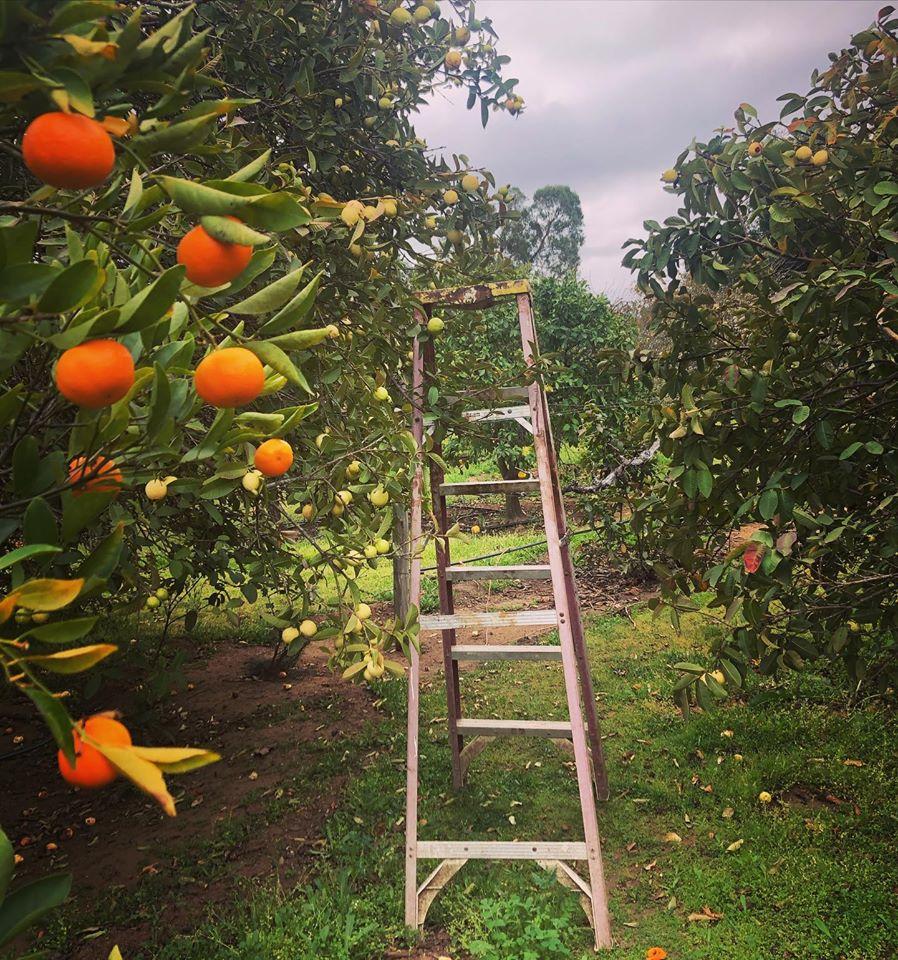 Enkanto Citrus Trees